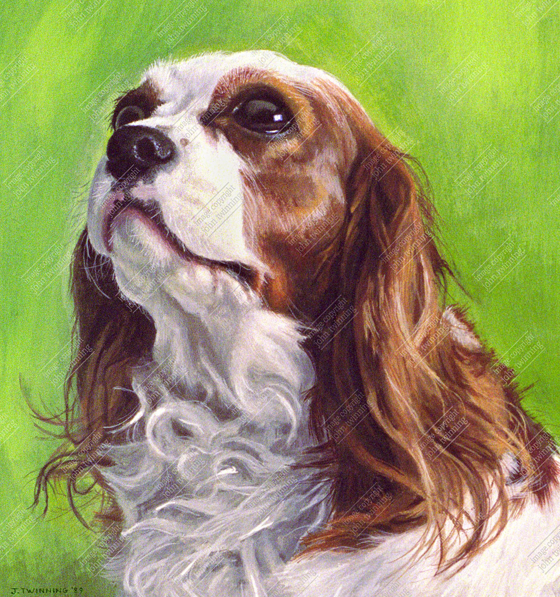 'Bonnie', Cavalier King Charles spaniel pet portrait