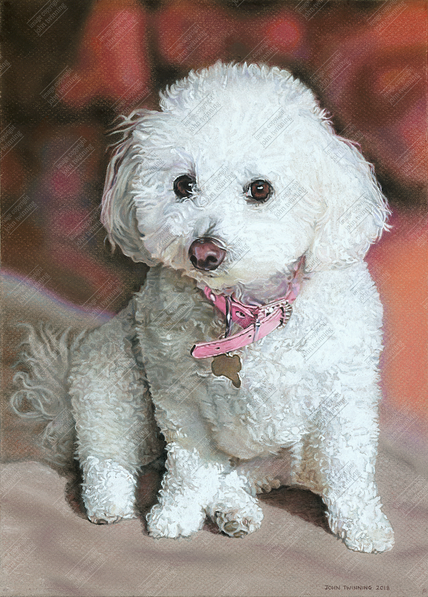 Dipsy, bichon friese portrait