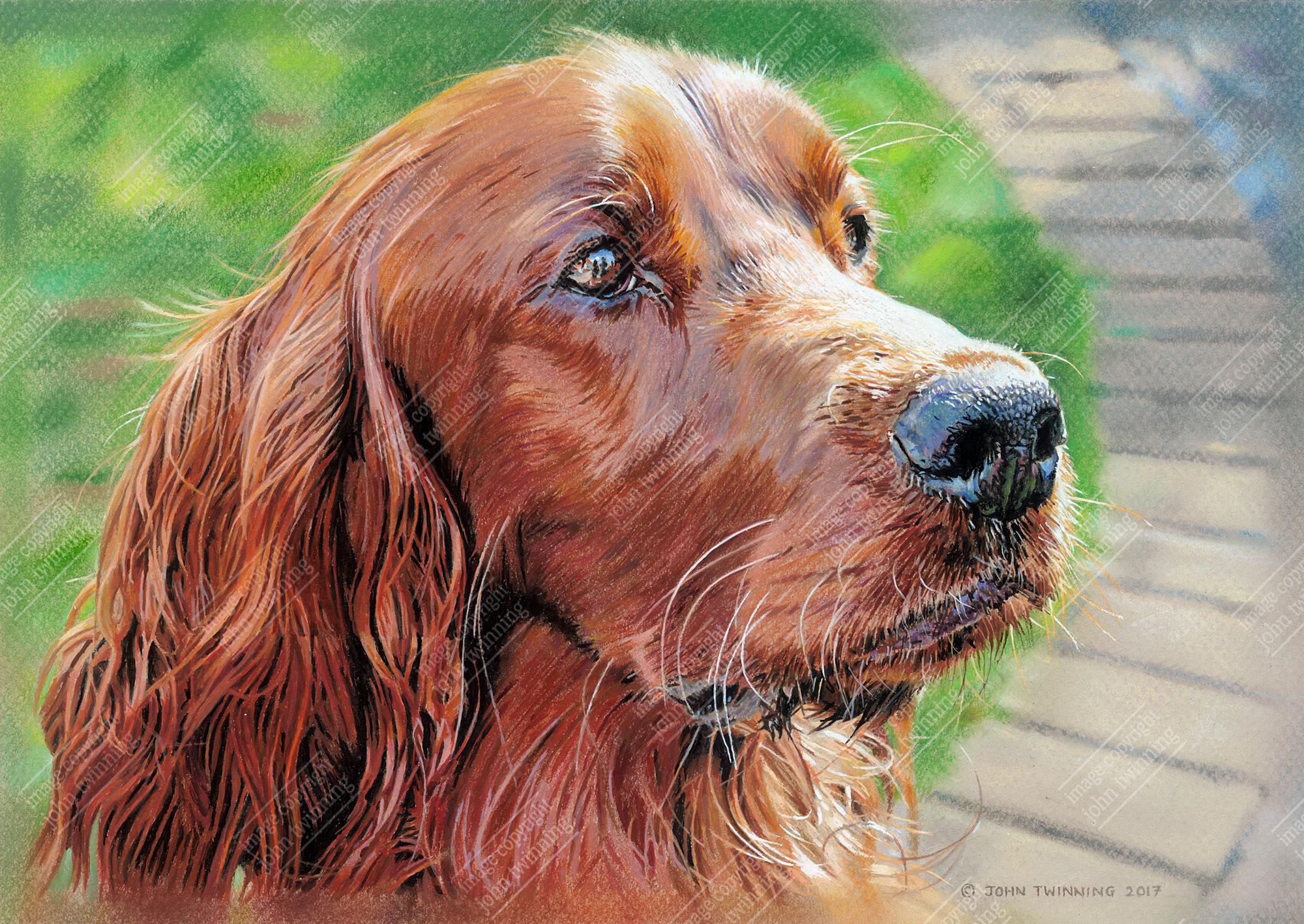 Morgan, Irish red setter portrait