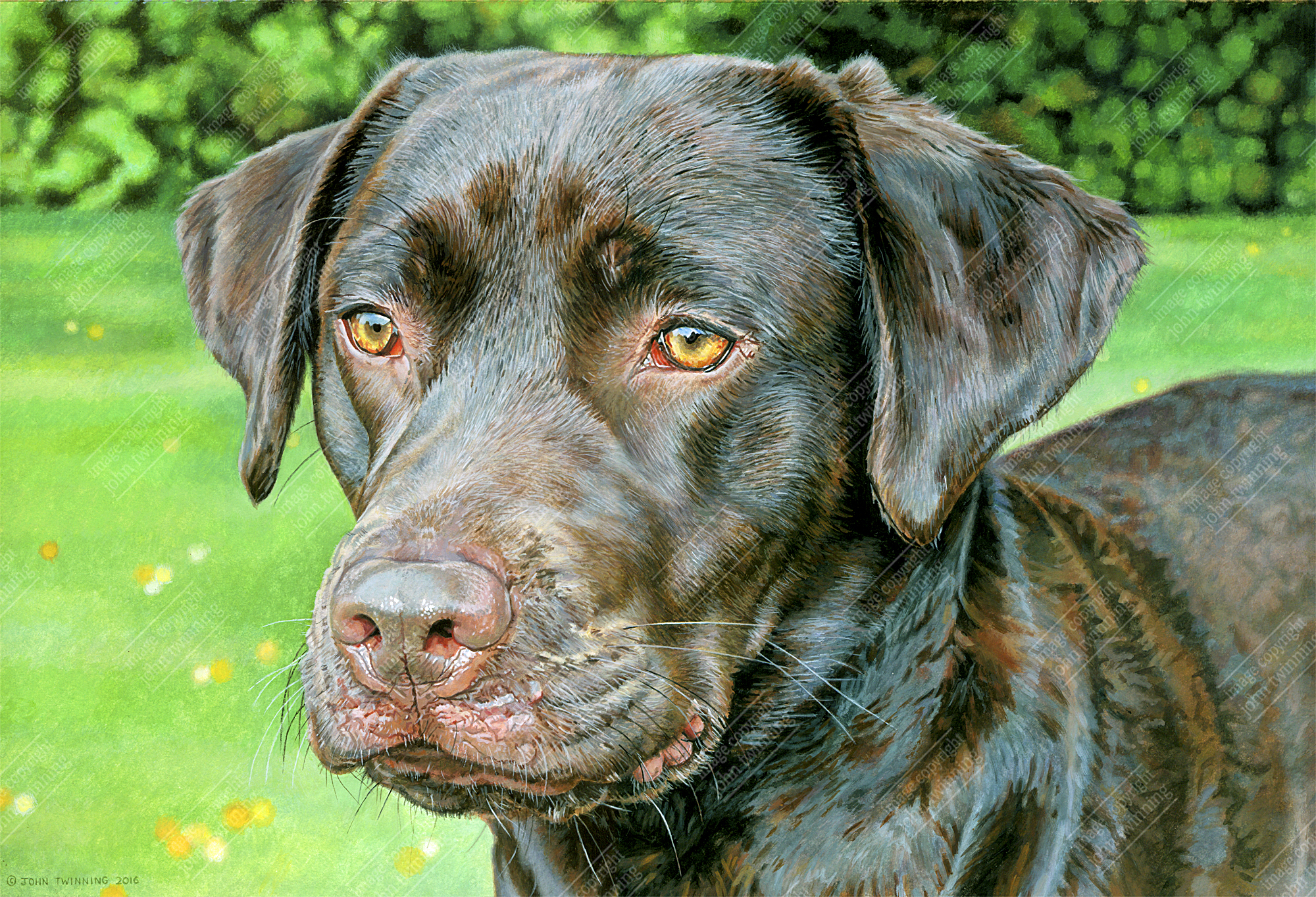 Peggy, chocolate labrador portrait