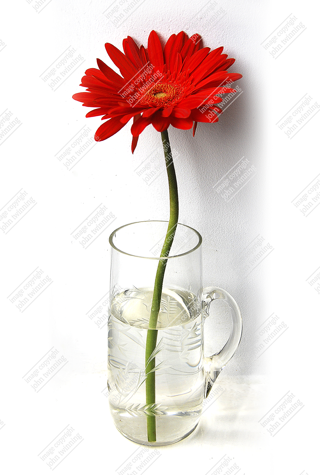 Red Gerbera in glass (photograph)