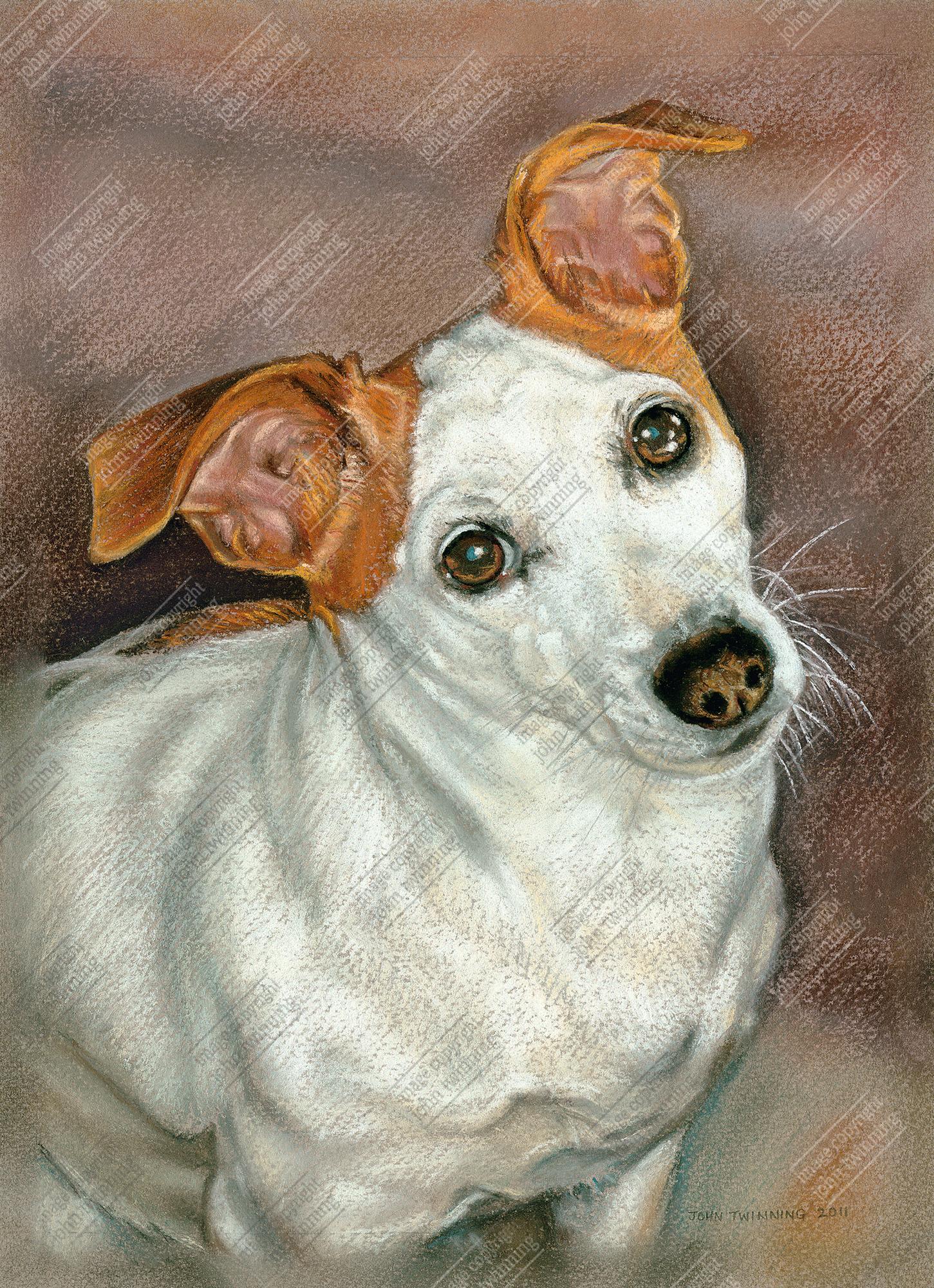 Titch, jack russell pet portrait