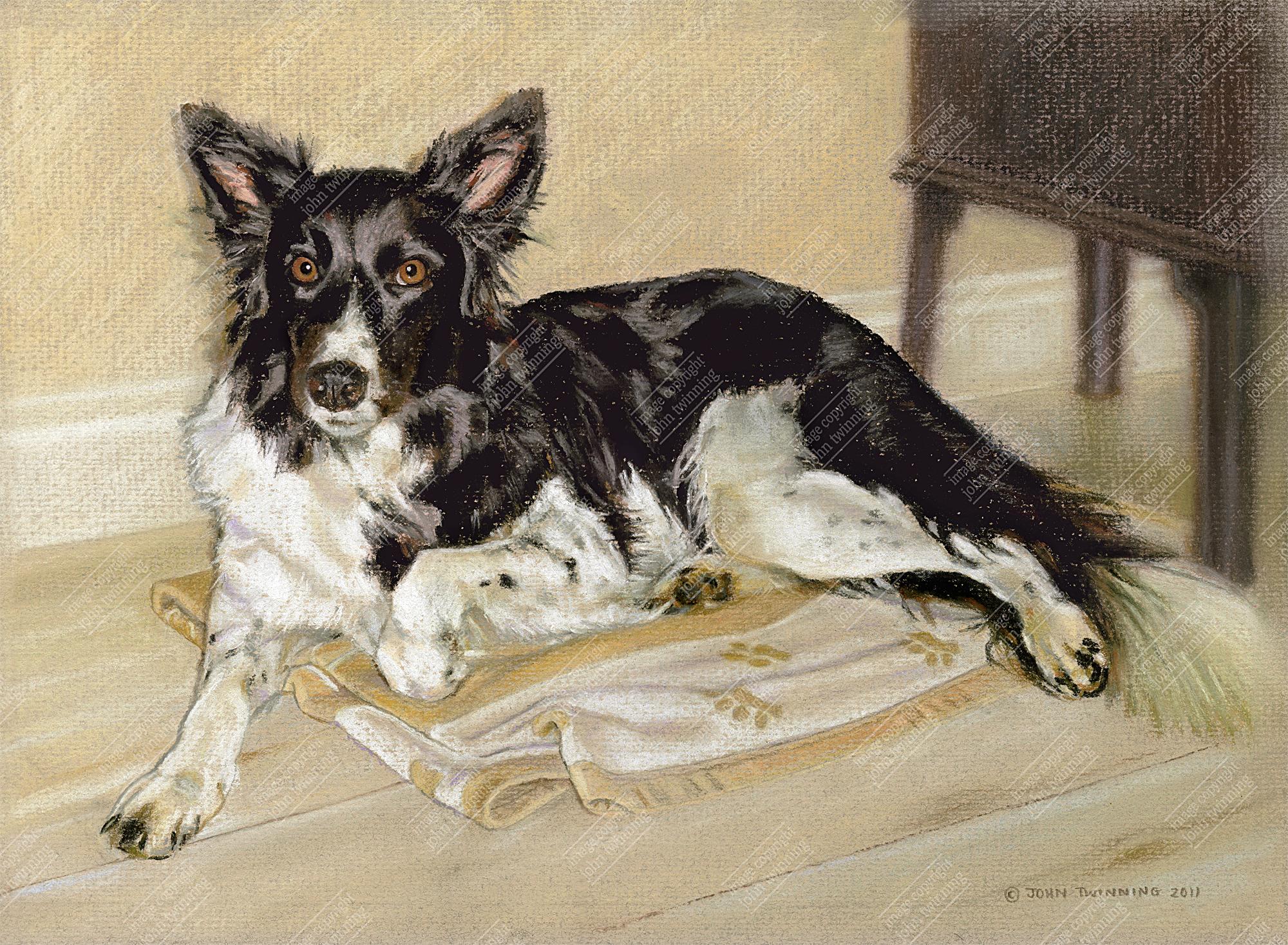 Ffion, border collie pet portrait